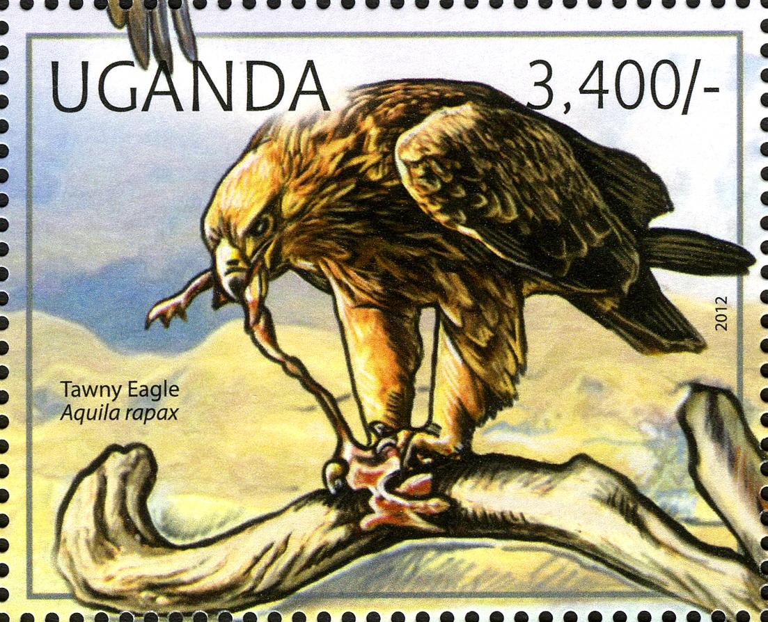 Uganda 2012 Fauna of African Great Lakes Region - Birds of Prey - Western Marsh Harrier