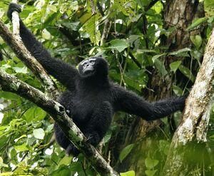 Hoolock-Gibbon-India