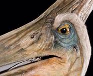 Pteranodon tlwjp 2