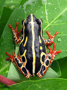 Tree frog congo.jpg