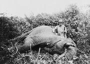 Roosevelt safari elephant2.jpg