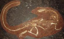 コエロ 化石.jpg
