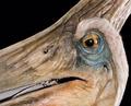 Cutfemalepteranodoneyeese