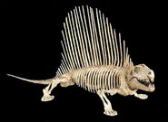 Dimetrodonskeleton