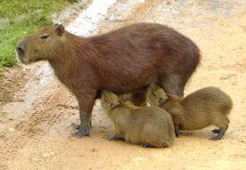 Capibara 2 edit.jpg