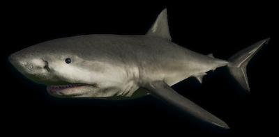 Rekin biały.png