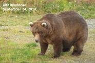 2014 FAT BEAR TUESDAY 2014.09.30 10.30 KNP&P FB POST 409 BEADNOSE 2014.09.24 PHOTO ONLY
