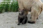 2014 FAT BEAR TUESDAY 2014.09.30 11.00 KNP&P FB POST 435 HOLLYs SPRING CUB aka 719 2014.06.28 PHOTO ONLY