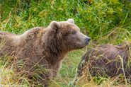 """284 """"Electra"""" and 1 of 2 spring cubs September 12-September 17, 2020 photo by ©Theresa Bielawski .02"""