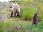 435 and 1 of 2 spring cubs July 24, 2017 photo by Scammin