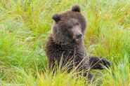 """1 of 284 """"Electra's"""" 2 spring cubs September 12-September 17, 2020 photo by ©Theresa Bielawski .02"""
