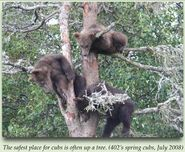 402 pic 2008.07.xx 3 SPRING CUBS TREED in 2012 BoBr iBOOK