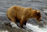 BEADNOSE 409 PIC 2015.06.27 NPS PHOTO 2015 FAT BEAR WEEK CONTEST