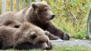 "284 ""Electra"" and her 2 spring cubs September 22, 2020 photo by Ranger Naomi Boak (aka NSBoak) .04"
