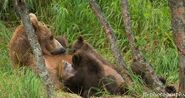 402 and 4 spring cubs July 2015 photo by ©Theresa Bielawski .02
