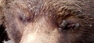 BEADNOSE 409 PIC 2017.09.xx SHOWS GROWTH ON EYES MOLLYGEE-TX ZOOM EYES ONLY