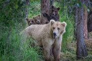 GRAZER 128 PIC 2016.07.xx w 3 SPRING CUBS NPS PHOTO BY RANGER ANELA RAMOS
