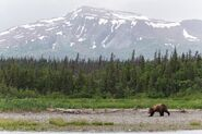 INFO BEARS SEEN 2018.06.16 14.15 BEAR SPOTTED ON LR RANGER RUSS 2018.06.16 15.16 COMMENT PIC 01 ONLY