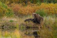 """284 """"Electra"""" and 2 spring cubs September 12-September 17, 2020 photo by ©Theresa Bielawski .02"""