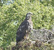 Juvenile bald eagle at Brooks Falls June 13, 2020 NPS photo by Ranger Naomi Boak