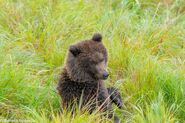 """1 of 284 """"Electra's"""" 2 spring cubs September 12-September 17, 2020 photo by ©Theresa Bielawski .04"""