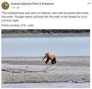 INFO BEARS SEEN 2018.05.20 - 2018.05.23 WHO SUBADULT KNP&P 2018.05.24 06.31 FB POST w B LUTES PHOTO