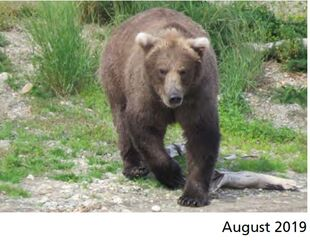 909 August 2019 NPS photo 2021 Bears of Brooks River book page 57