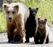 909 with 2 spring cubs June 13, 2021 NPS photo by Ranger M. Whalen from KNP&P's Facebook page June 14, 2021 copy