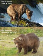 2014 FAT BEAR TUESDAY 2014.09.30 14.00 KNP&P FB POST 409 BEADNOSE 2014.06.24 vs 2014.09.24 PHOTOS ONLY
