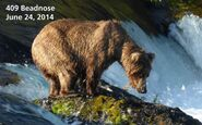 2014 FAT BEAR TUESDAY 2014.09.30 14.00 KNP&P FB POST 409 BEADNOSE 2014.06.24 PHOTO ONLY
