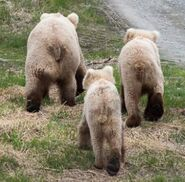 INFO BEARS SEEN 2018.05.24 - 2018.05.30 128 w 2 & 409 w 2 SPIT RD KNP&P 2018.06.01 06.01 FB POST PIC ONLY 128 FG ONLY