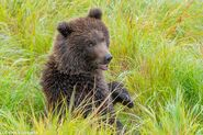 """1 of 284 """"Electra's"""" 2 spring cubs September 12-September 17, 2020 photo by ©Theresa Bielawski .03"""