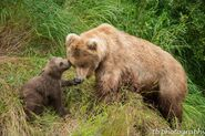 273 and spring cub 809 Late July 2015 photo by ©Theresa Bielawski .02