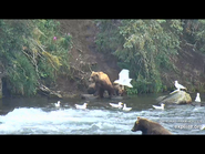505 PIC 2018.08.06 w 2 SPRING CUBS GOLDILOCKS POSTED 2019.06.05 16.34 03