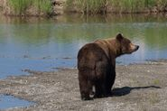INFO BEARS SEEN 2018.06.01 17.00 409 or WHO RANGER RUSS 2018.06.02 09.51 COMMENT w PHOTO - 151 WALKER MAYBE PIC ONLY