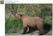 INFO BEARS SEEN 2018.06.01 17.30 SUBADULT w DARK FORARMS IS THIS ONE OF 409s 2.5 YO OFFSPRING RANGER RUSS 2018.06.02 09.57 COMMENT