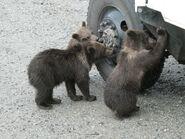 273's 3 spring cubs July 26, 2019 NPS photo by NSBoak (aka Ranger Naomi Boak)