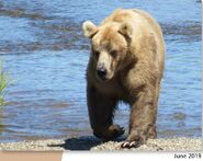 435 Holly June 2019 NPS photo 2021 Bears of Brooks River book page 42 .01