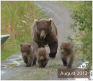 BEADNOSE 409 PIC 2012.08.xx w 3 SPRING CUBS 500 IS 1 of 3 2014 BoBr PG 36 01