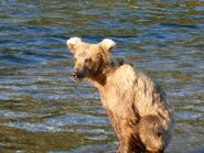 A subadult on the evening of June 19, 2019 from Katmai Conservancy Ranger Naomi's June 20, 2019 08-55 AKDT comment