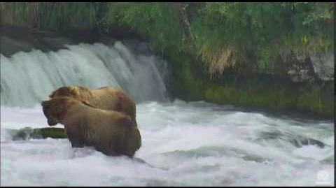 07 03 2016 410 Queen and 480 Otis King of Brooks River Katmai NPP by Mickey Williams