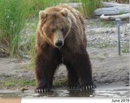402 June 2019 NPS photo 2021 Bears of Brooks River book page 41