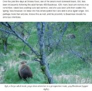 856 PIC 2018.06.06 & FEW DAYS PRIOR 856 COURTING 409 BROOKS RIVER BEAR MATING SEASON BLOG 2018.06.06 MIKE FITZ EXPLORE PIC w INFO
