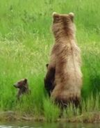 AMANDA THOMPSON COMMENT 2018.07.04 23.12 re 132 & 2 SPRING CUBS & DECEASED CUB 01 & 02 PIC 01 ONLY ZOOM