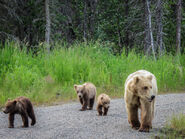 GRAZER 128 PIC 2016.06.18 w 3 SPRING CUBS 902 & 903 NPS PHOTO TAMMY CARMACK
