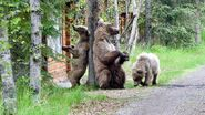 128 Grazer and 2 yearlings June 7, 2021 NPS photo by Ranger Naomi Boak (aka NSBoak) .02