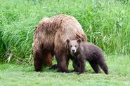 132 and spring cub July 6, 2018 photo by NWBearLove92 .02