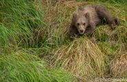273's spring cub 809 Late July 2015 photo by ©Theresa Bielawski .04