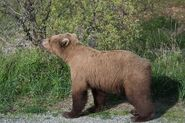 INFO BEARS SEEN 2018.06.01 17.30 SUBADULT w DARK FORARMS IS THIS ONE OF 409s 2.5 YO OFFSPRING RANGER RUSS 2018.06.02 09.57 COMMENT PIC ONLY