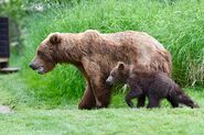 132 and spring cub July 6, 2018 photo by NWBearLove92 .01